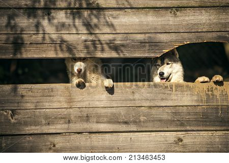 Husky or wolf at wooden background copy space. Pet and animal Siberian husky dog year. New year christmas xmas. Zoo shelter farm or captivity. Year of dog holiday celebration.