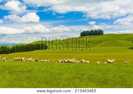 Common view in the New Zealand - hills covered by green grass with herds of sheep