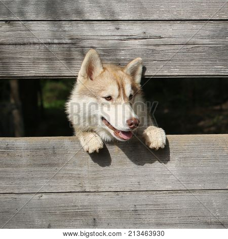 Husky or wolf at wooden background copy space. Year of dog holiday celebration. Zoo shelter farm or captivity. Pet and animal Siberian husky dog year. New year christmas xmas.