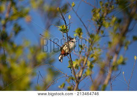 Red Whiskered Bulbul Bird On Tree