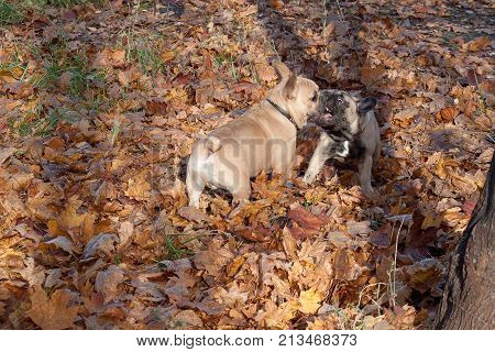 Two french bulldogs are frolicking on the autumn foliage. Pet animals.
