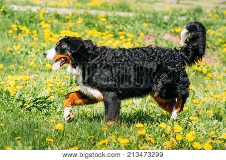 Farm Dog Bernese Mountain Dog Berner Sennenhund Play Outdoor In Green Spring Meadow With Yellow Flowers. Playful Pet Outdoors. Bernese Cattle Dog