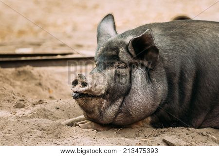 Close Up Of Household A Large Black Pig Resting In Sand. Pig Farming Is Raising And Breeding Of Domestic Pigs.