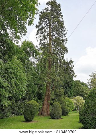 Formal garden with a lawn, shaped conifer bushes and a very tall cedar tree at Burton Agnes, England