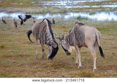 Antelopes are fighting Gnu on safari in Kenya