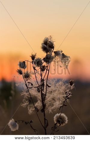 furry prickle nature autumn red-ellow sunset. Ural, Russia.