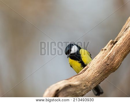 Great Tit Pearched On A Branch Of An Old Dead Tree, Natural Soft Light Background