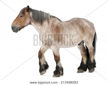 Belgian horse, Brabanâ??Ã?on, 16 years old, walking in front of white background