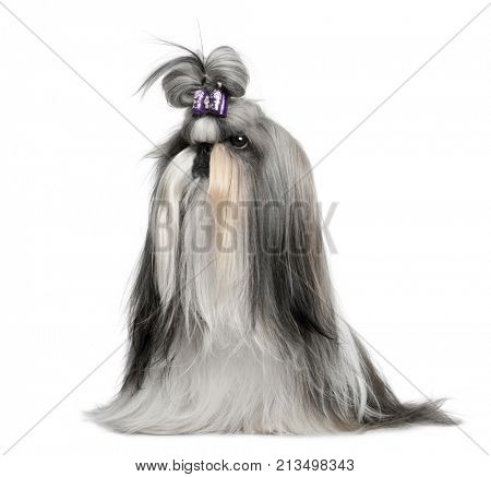 primped Shi-Tzu, 1 Year old, sitting in front of white background