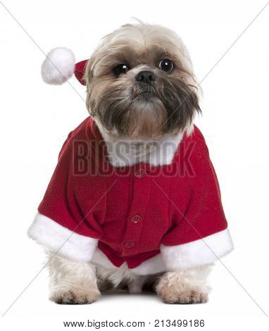 Shi-Tzu in Santa Claus suit, 2 years old, sitting in front of white background