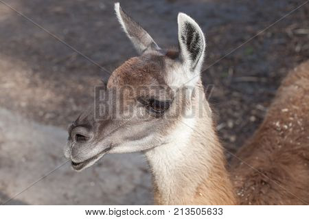 portrait of a South American home brown Lama glama closeup