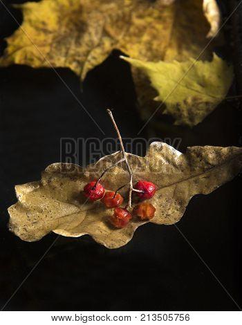 Autumn still life with rowanberry and oak leaf