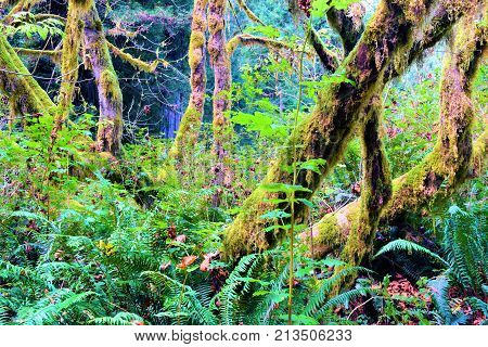 Trees with moss surrounded by lush green ferns and plants taken in a temperate rain forest