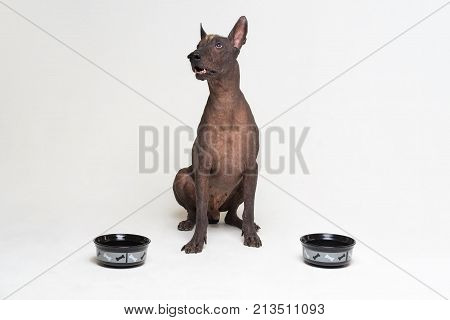 hungry dog between two bowls. xoloitzcuintli Mexican Hairless Dog waiting and looks up to have his bowl filled food isolated on gray background