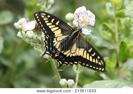 Oregon Swallowtail Butterfly (Papilio oregonius) on blackberry flowers