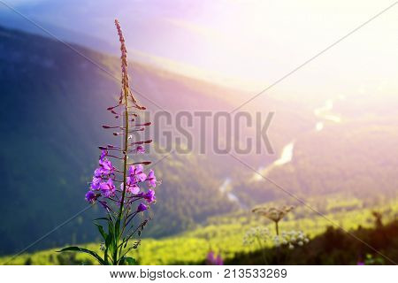 Fireweed flowers at sunset above Logan Creek in Glacier National Park, Montana