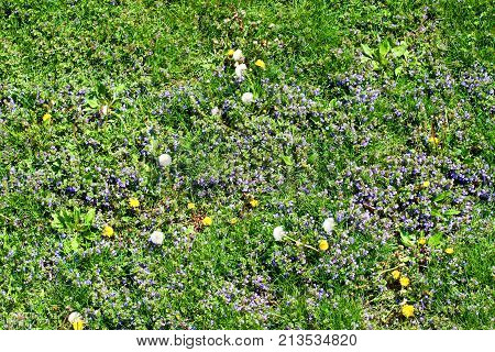 Residential lawn with dandelions and other weeds growing out of control