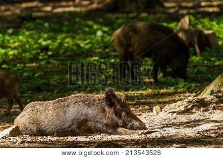 Boar in sun , Wildpark animal .