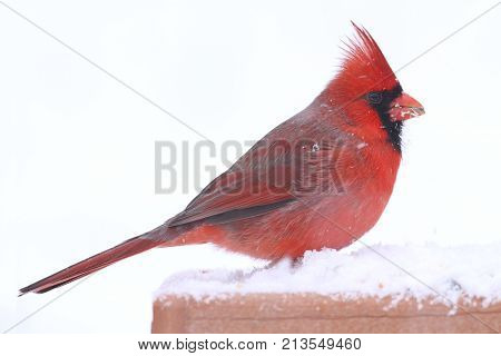 Male Northern Cardinal (cardinalis cardinalis) on a feeder in a snow storm