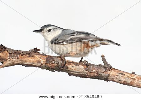White-breasted Nuthatch (sitta carolinensis) on a branch with a white background