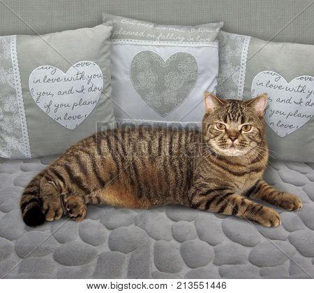 The big scottish straight cat is on a gray sofa.