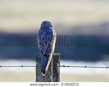 Montagus harrier resting on a pole in erly morning light