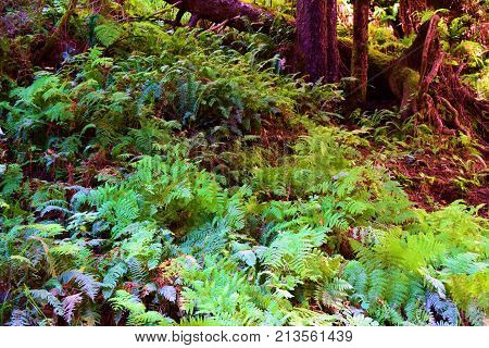 Pine Woodland with fern plants on the forest floor taken at a temperate forest in the Northern California Coast