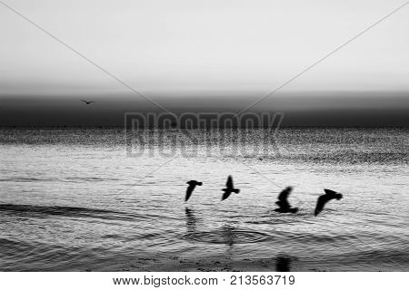 Autumn seascape at dawn in black and white. Flock of seagulls flying over sea. Silhouette of birds in flight