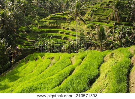 Rice terraces. The island of Bali. Indonesia.