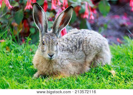 European Hare (Lepus Europaeus) Close-up. European Brown Hare lies flattened against the ground in alert. Helsinki, Finland.