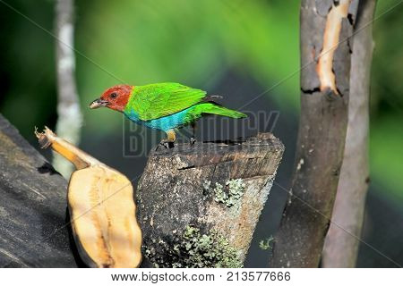 Bay-headed Tanager, Tangara Gyrola Toddi, beautiful red green and blue songbird, El Jardin, Colombia, South America