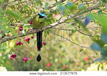 Blue-crowned Motmot, Momotus Momota, with beautiful coloured background, El Jardin, Colombia, South America