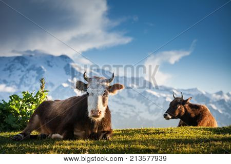 Cows resting on alpine hills in sun beams. Idyllic summer landscape in the Alps with cows grazing on fresh green mountain pastures and snow capped cloudy mountain tops in the background