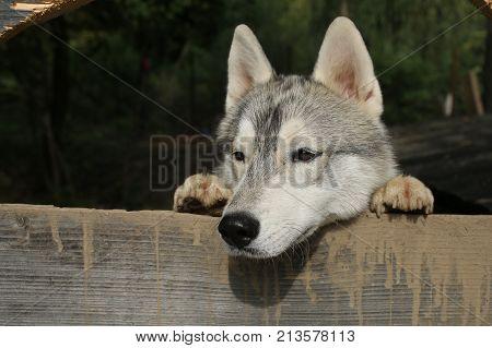 Zoo shelter farm or captivity. Husky or wolf at wooden background copy space. New year christmas xmas. Pet and animal Siberian husky dog year. Year of dog holiday celebration.