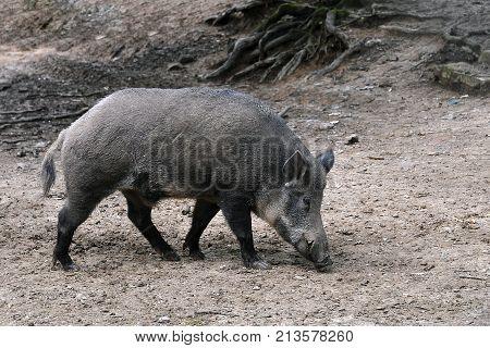 Wild boar in a forest in Slovakia