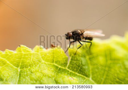 Fly Fly Closeup. A Fly On A Leaf
