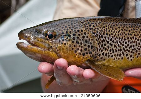 Close Up Of A Brown Trout After Being Caught