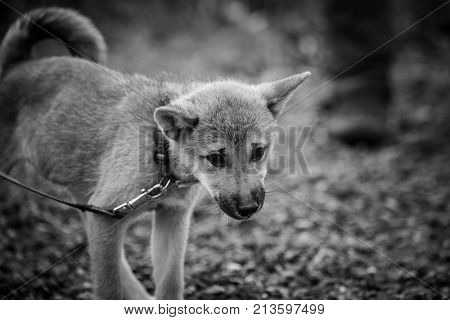 outdoor portrait of a Shiba inu domestic dog at work in belgium