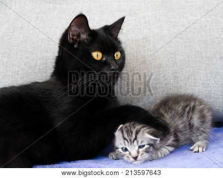 A black cat and a naughty kitten.  mother and child relationship. Kitten the bully