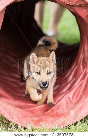 outdoor portrait of a shiba inu  at work in belgium