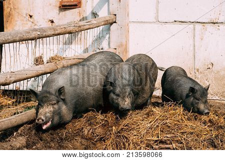 Household A Large Black Pigs In Farm. Pig Farming Is Raising And Breeding Of Domestic Pigs. It Is A Branch Of Animal Husbandry. Pigs Are Raised Principally As Food pork, Bacon, Gammon .