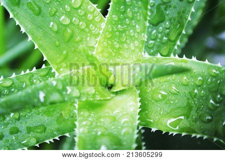 Aloe Vera Plant With Water Drops Close Up