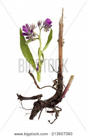 Comfrey flower and root isolated on white background from above. Natural remedy. Symphytum officinale.