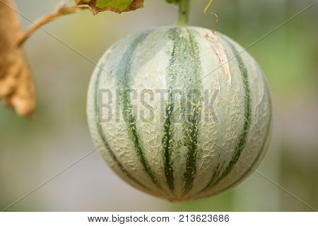 Cantaloup Green Melon Growing In Farm Supported By String Melon Nets