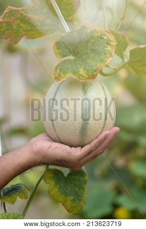 Farmer Holding In Hands Fresh Yellow Melon Harvest On The Field