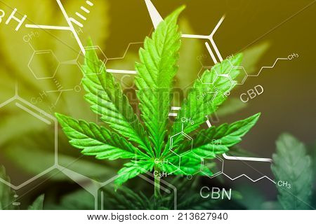 A beautiful sheet of cannabis marijuana in the defocus with the image of the formula THC CBD CBN abstract With exposure