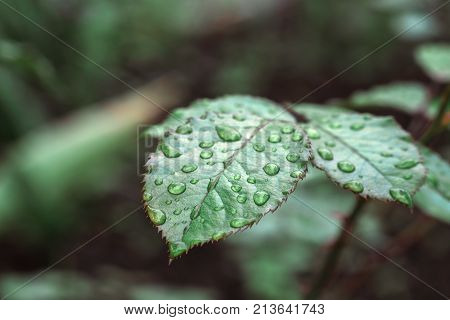 Horizontal shot of leaves of roses covered with raindrops closeup, background blur. Wet rose leaves with drops of water