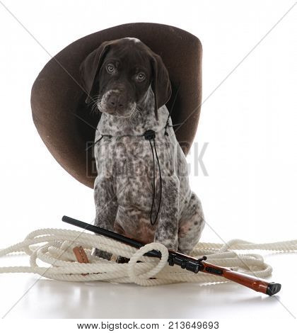 german shorthaired pointer puppy hunting dog on white background