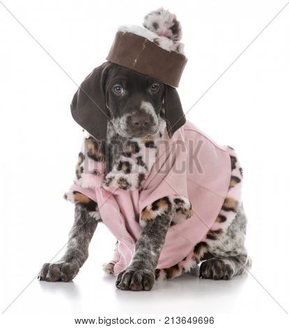 female german shorthaired pointer puppy wearing a pink coat on white background