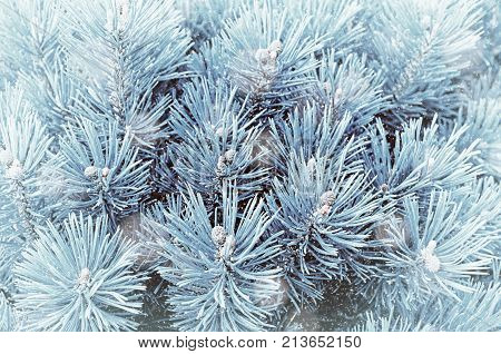 Winter background. Blue winter pine tree branches under snowfall, closeup winter nature. Winter forest trees, winter landscape background